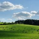 Kühe, Gras und Wolken